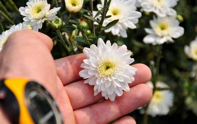 Подкармливать хризантемы нужно минимум раз в месяц, чередуя органические и минеральные удобрения